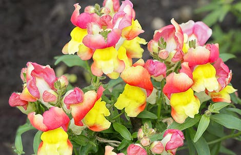 Photograph of snapdragons