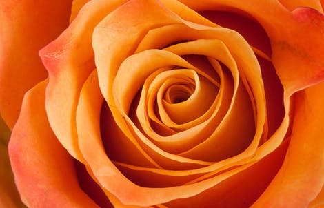 Close-up photograph of a rose representing fascination